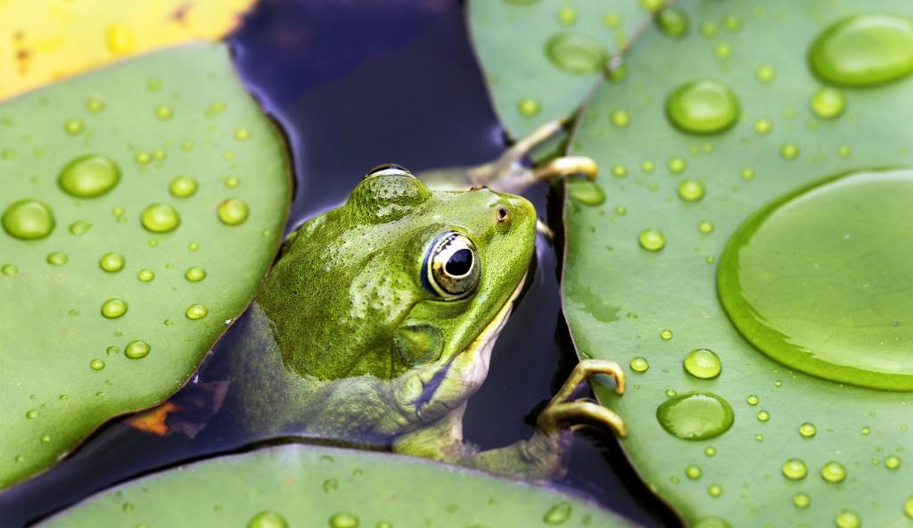 French frog - Conseils - Aménager sa mare de jardin