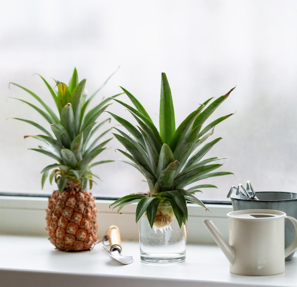 Foir'Fouille - DIY - faire pousser ses ananas maison - couronne