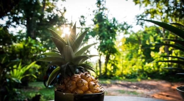 DIY - faire pousser ses ananas maison