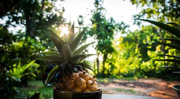 DIY : Faire pousser ses ananas maison