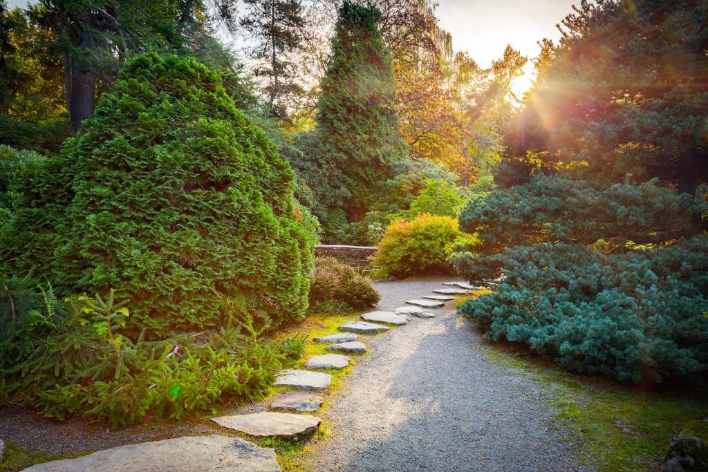 coniferes pin jardin japonais